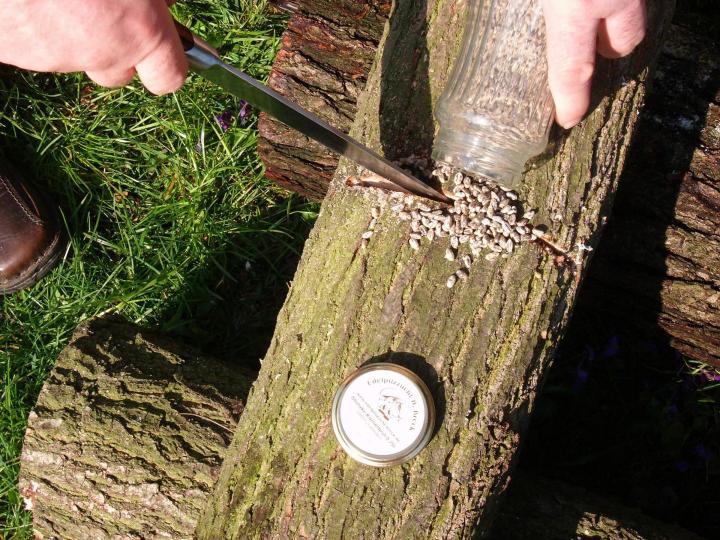 Pilzzucht mit Pilzbrut auf Baumstämmen