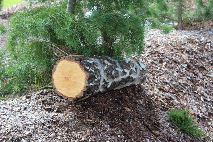 Pilzzucht auf Baumstämmen nach der Schnittimpfmethode